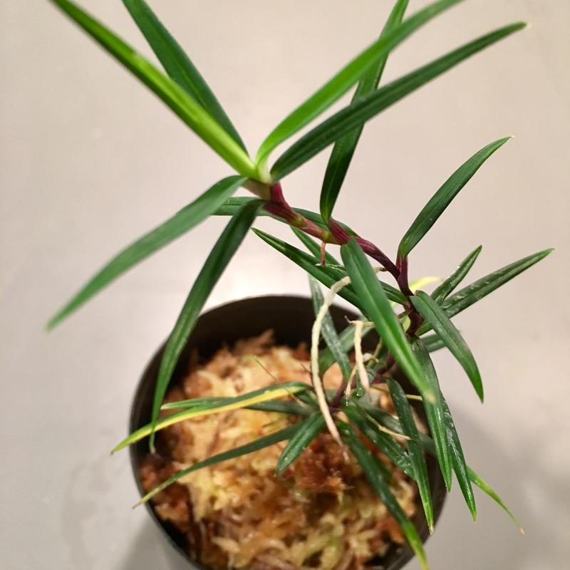 Freycinetia sp. from Setiu