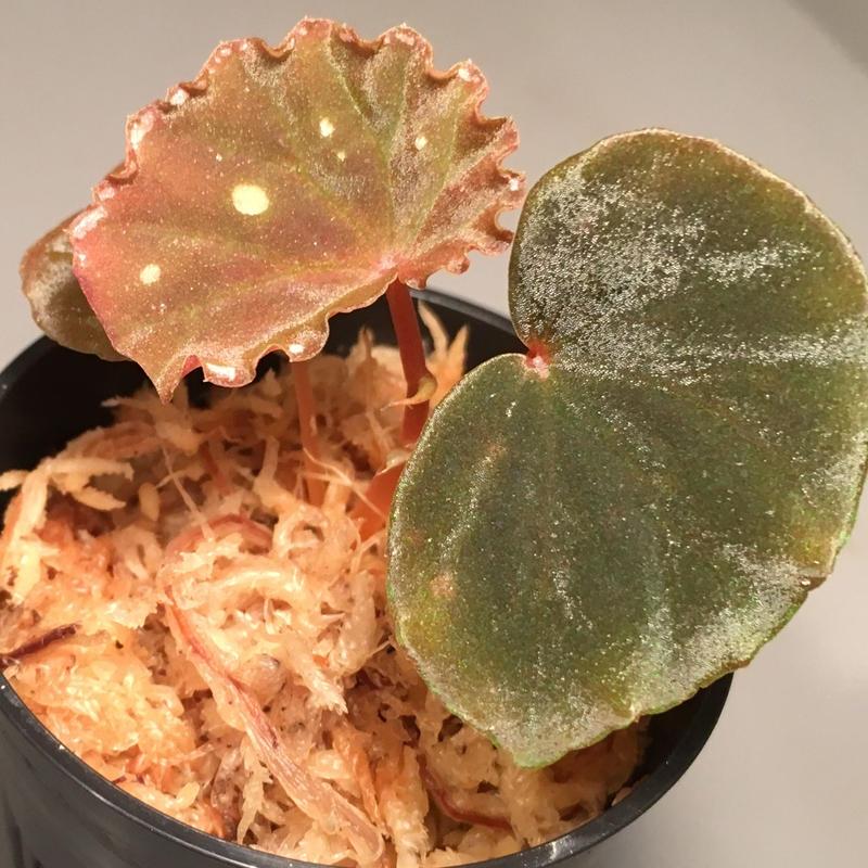 Begonia sp. from Sarawk [LA]