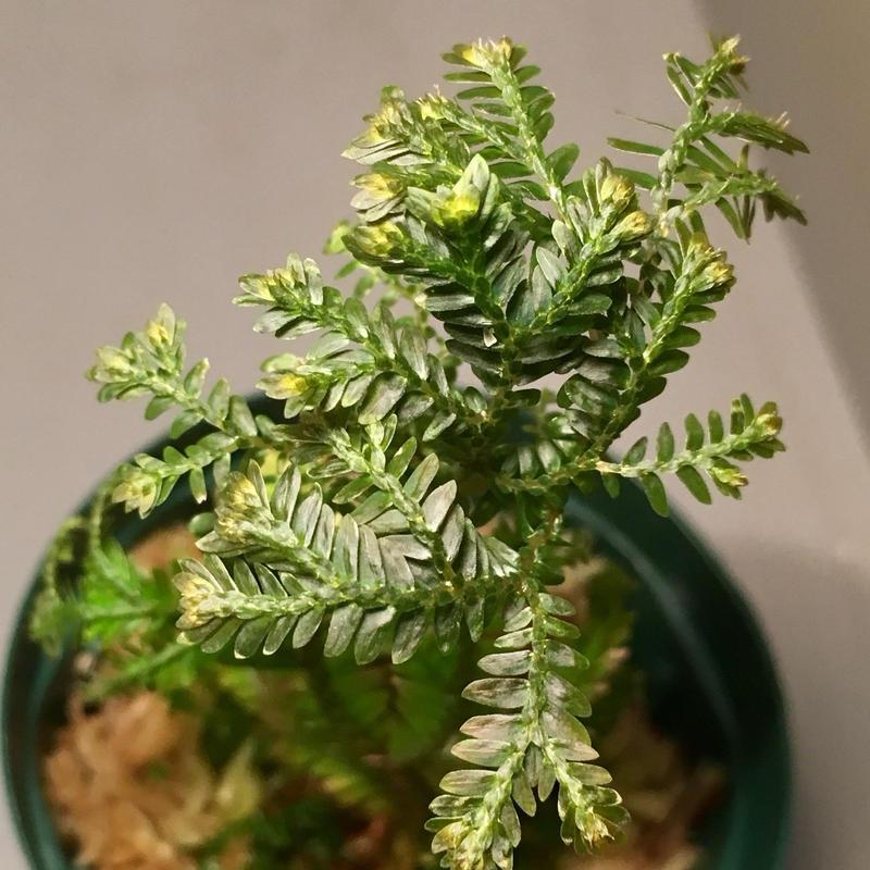 Selaginella sp. from Selangor