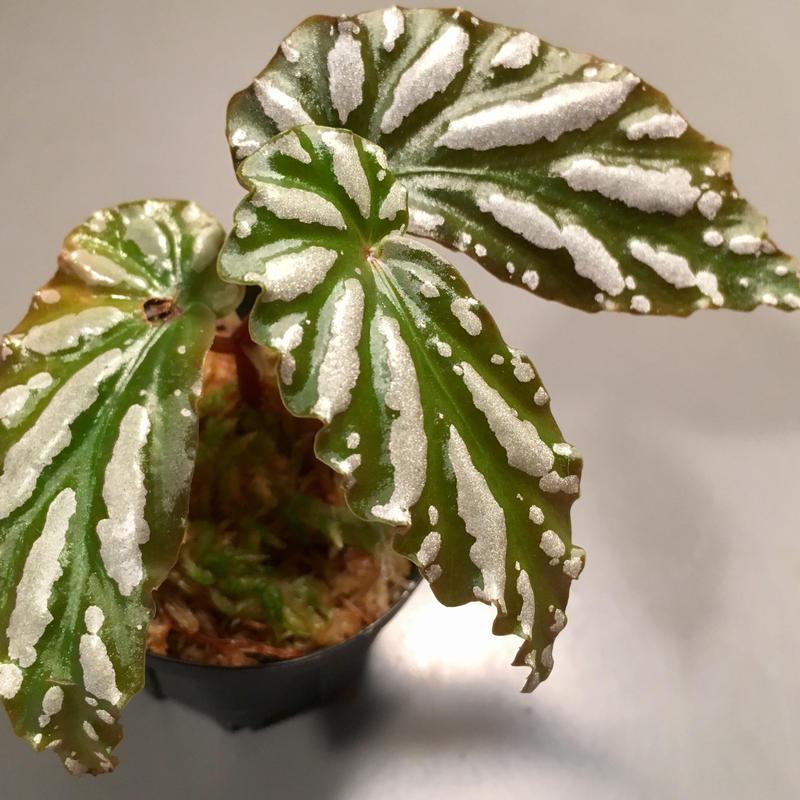 Begonia sp. from Lampung sumatera [LA0217-01]雪の宿