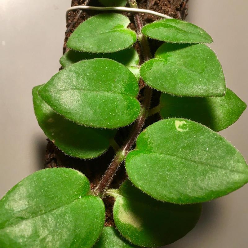Aeschynanthus sp. from Sluwesi