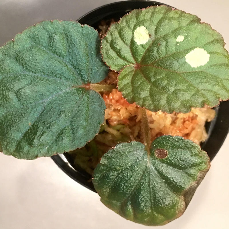 Begonia sp. from Tuyen Quang [YH1117]