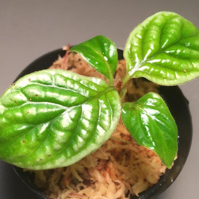Acranthera sp. fromKalimantan Barat