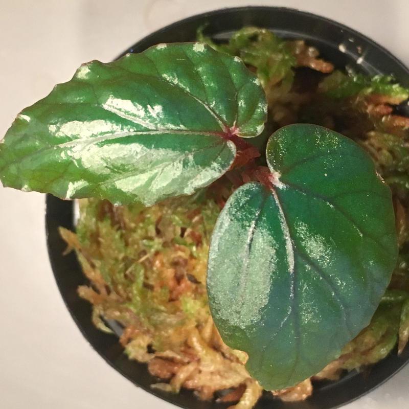 Begonia sp. from Temuyuk Kalimantan barat