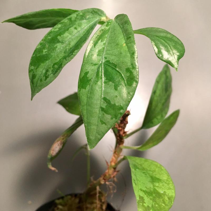 Elatostema sp. from Nopphitam[TK260915]