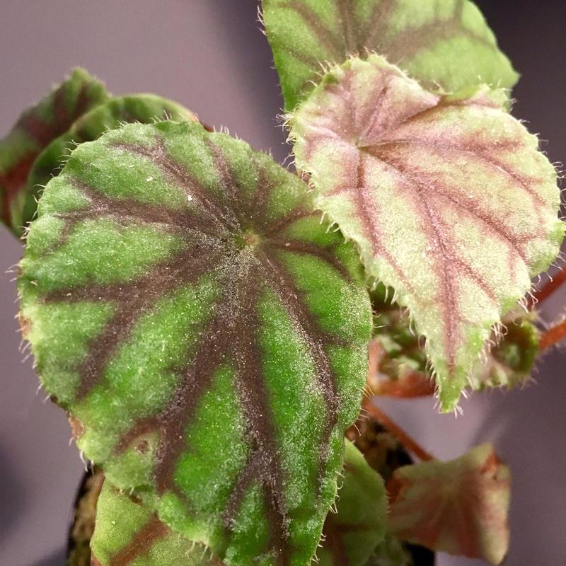 Begonia quadrialata ssp.nimbaensis  from West African