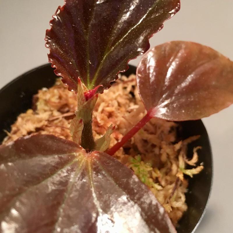 Begonia sp. from Sabah