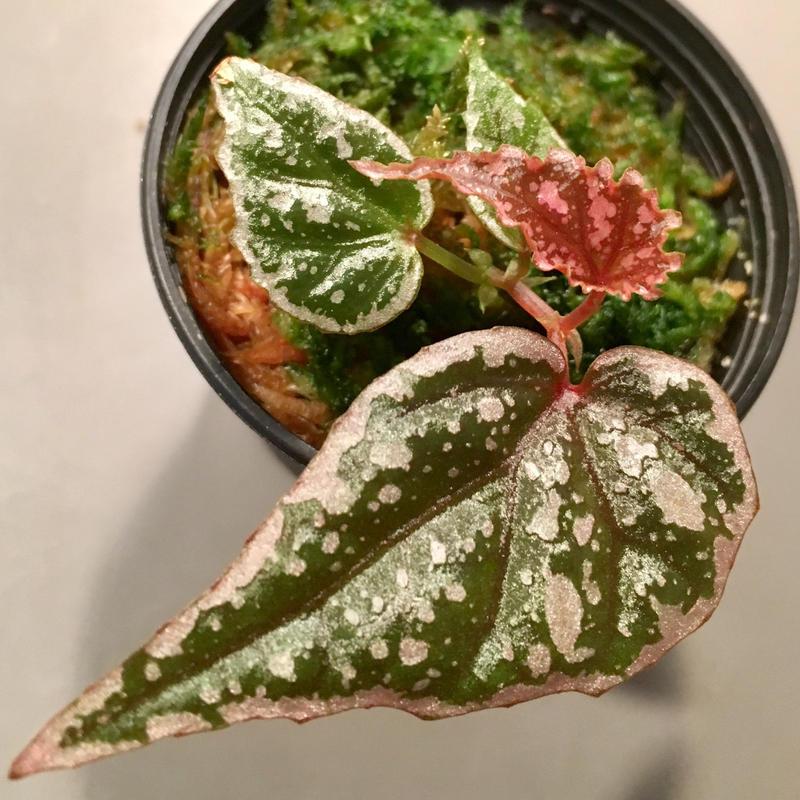 Begonia sp. from Sarikei [RIO]
