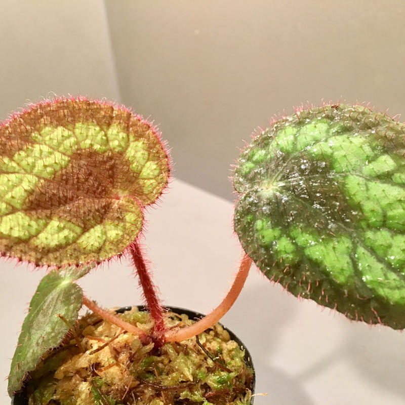 Begonia Circularis fromThach an town cao bang province north vietnam