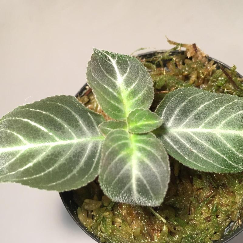 Gesneriaceae gen. from Kalimantan  Barat