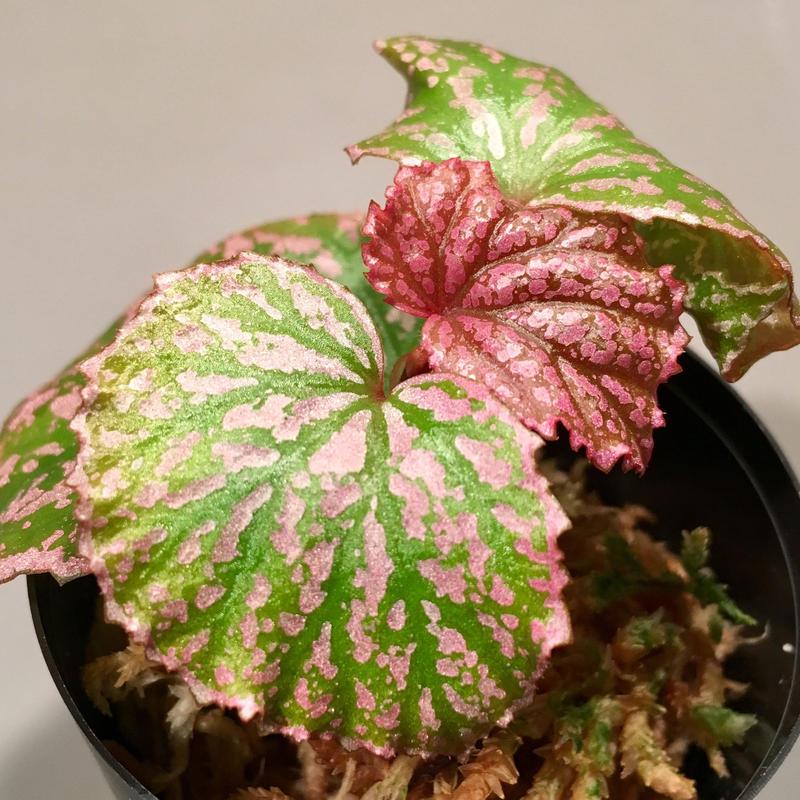"""Begonia sp . from """"Kayulapis"""" Kal-barat [TB]"""
