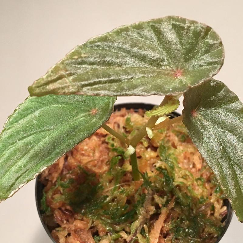 Begonia nothobaramensis from Brunei