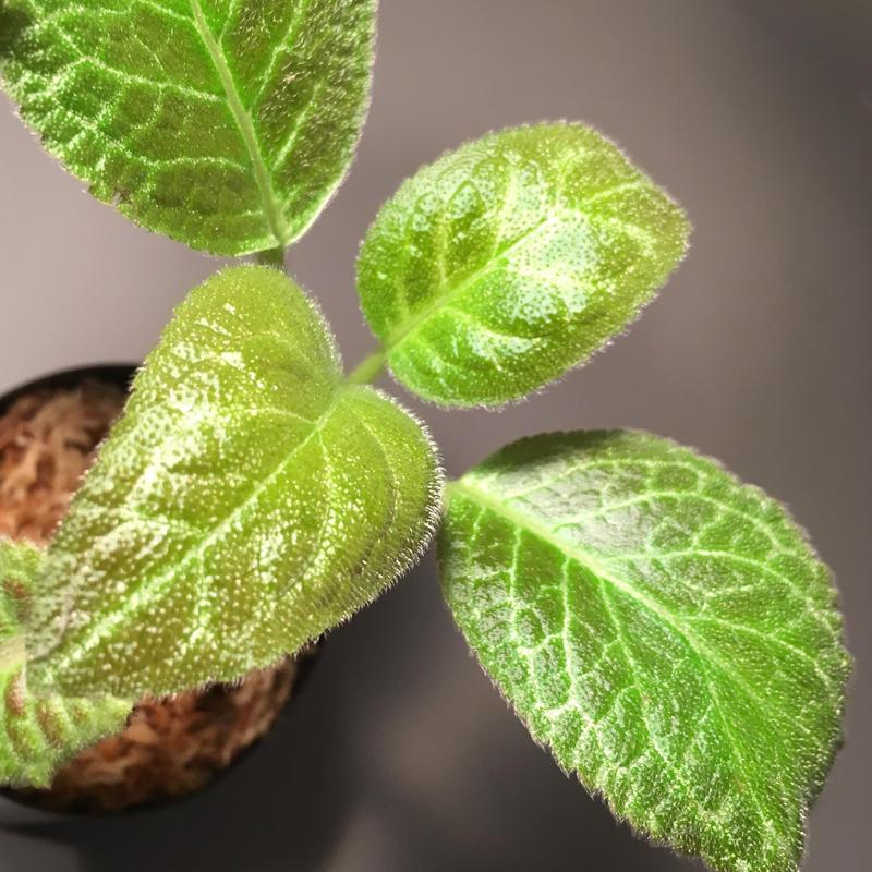 Episcia cupreata from Ecuador