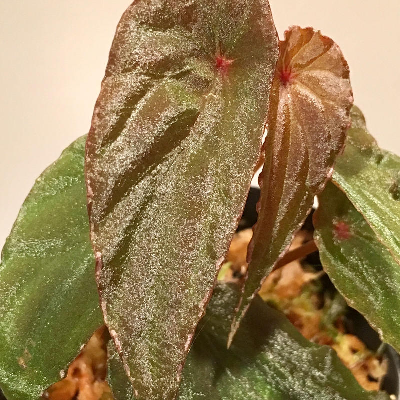 Begonia nothobaramensis