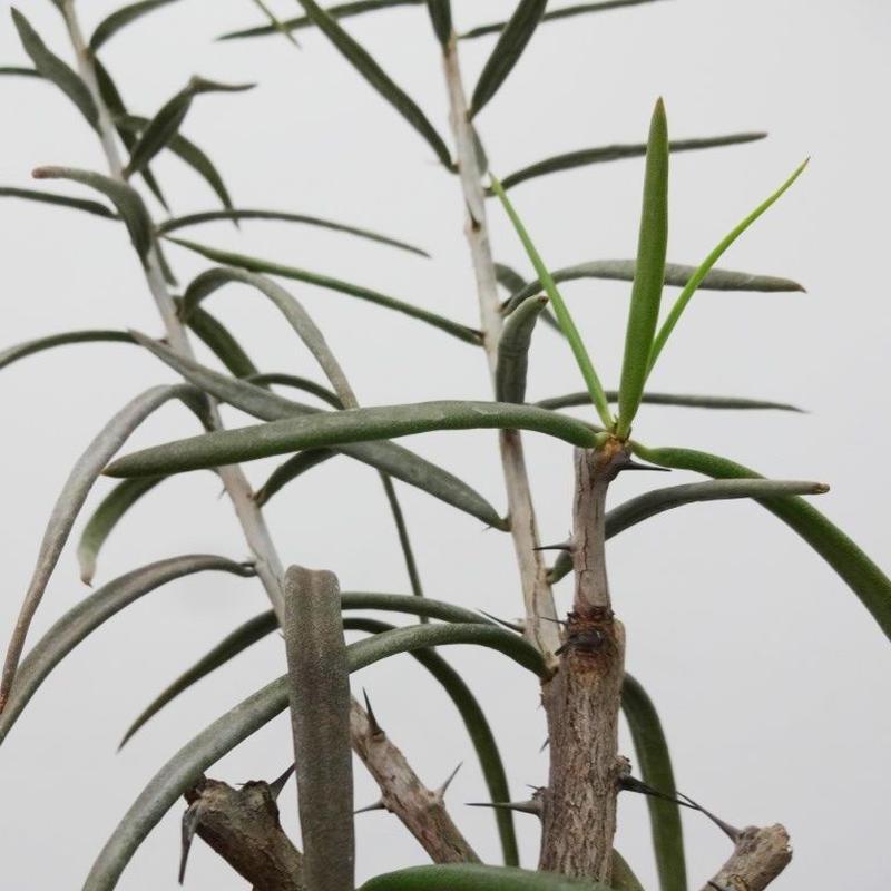 Alluaudiopsis fiherensis アローディオプシス フィフェレネンシス S