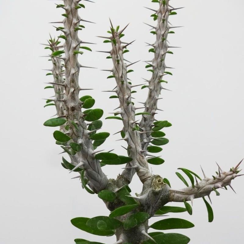 Alluaudia procera アローディア プロセラ 亜竜木M