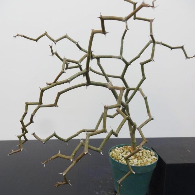 Decarya madagascariensis デカリア マダガスカリエンシス M