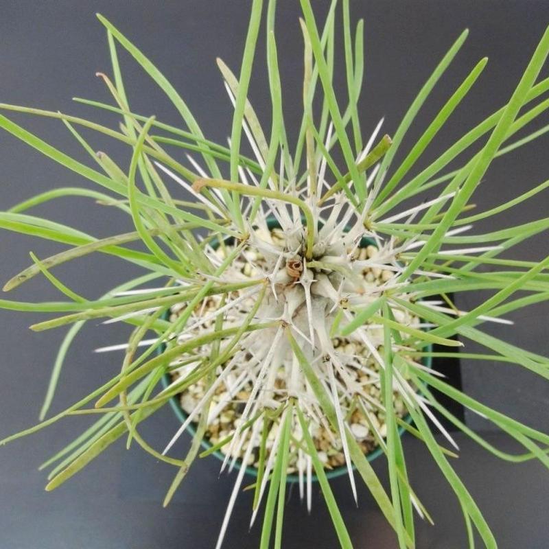 Didierea madagascariensis ディディエレア マダガスカリエンシス
