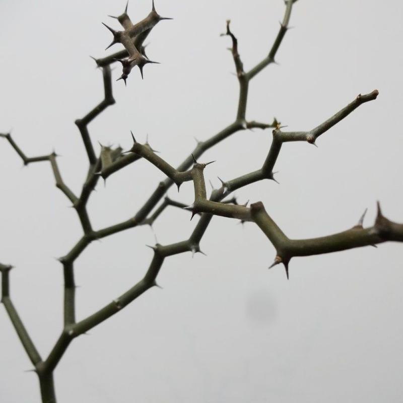 Decarya madagascariensis デカリア マダガスカリエンシス S