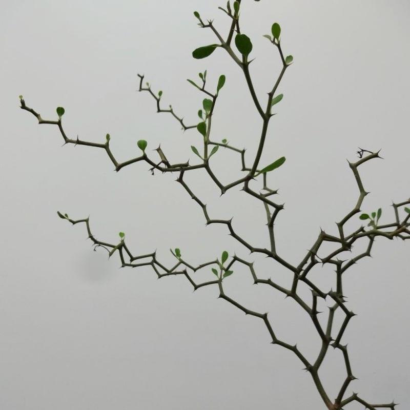 Decarya aff.madagascariensis デカリア マダガスカリエンシス 細茎type M