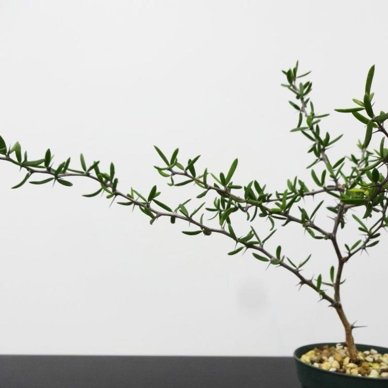 Alluaudiopsis marnieriana アローディオプシス マルニエリアーナ