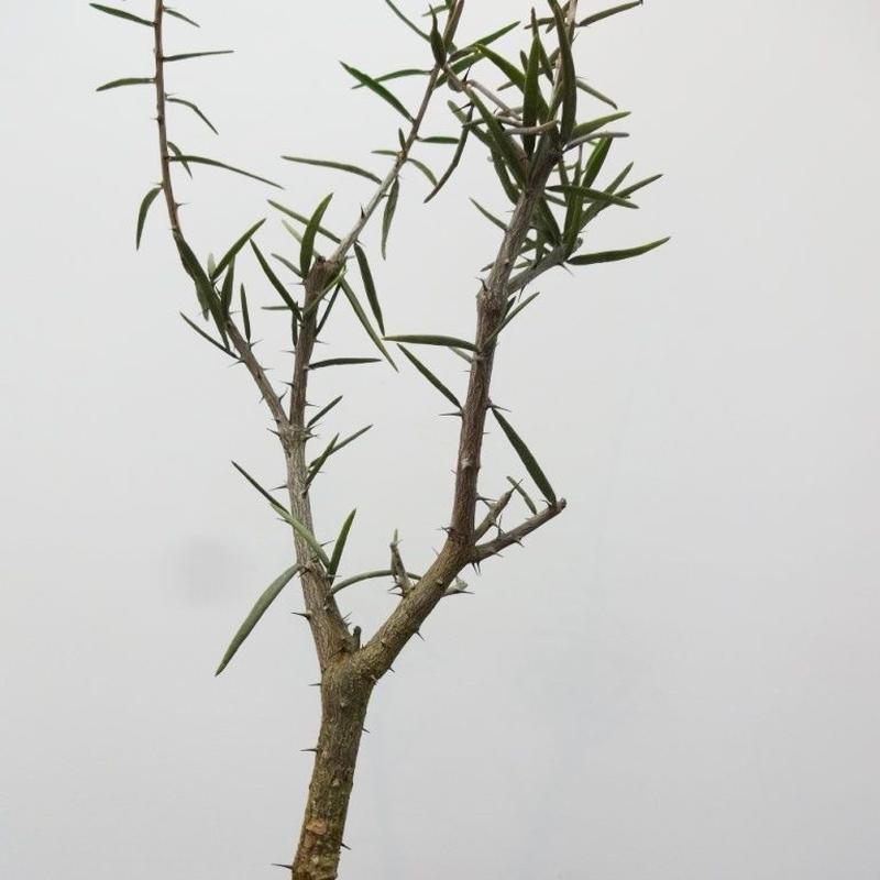 Alluaudiopsis fiherensis アローディオプシス フィフェレネンシス L