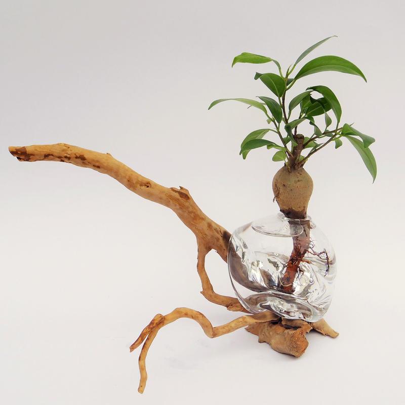 【アクア盆栽】ガジュマル