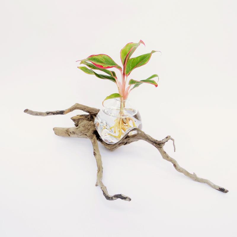 【アクア盆栽】アグラオネマ