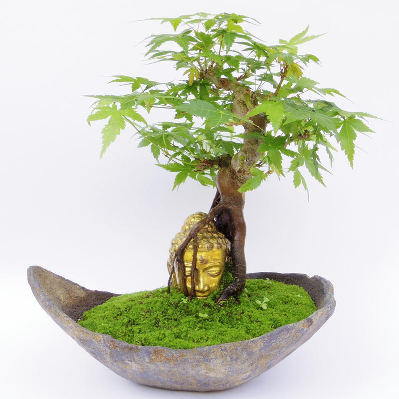 【仏像盆栽】モミジ