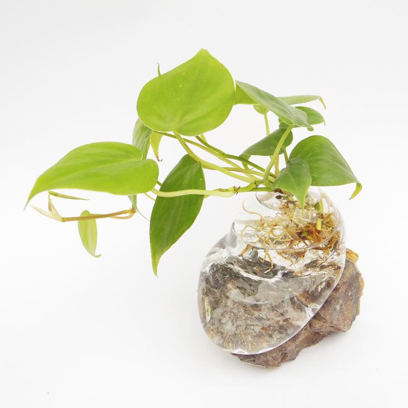 【アクア盆栽】オキシカルディウム