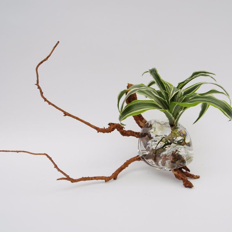 【アクア盆栽】ドラセナ・ワーネッキー