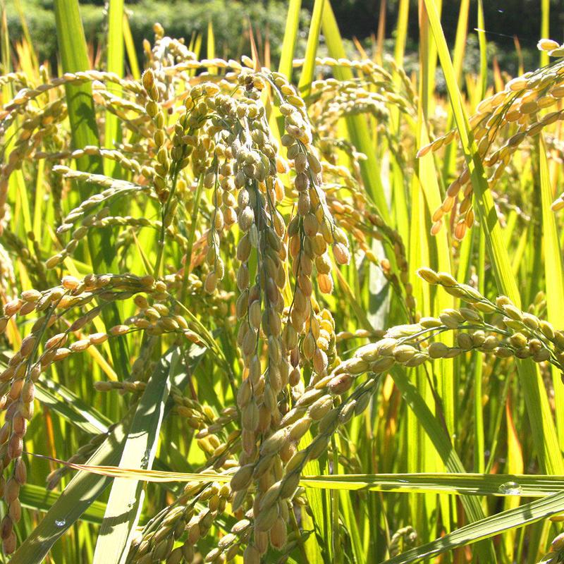 低農薬米【ななつぼし】20kg