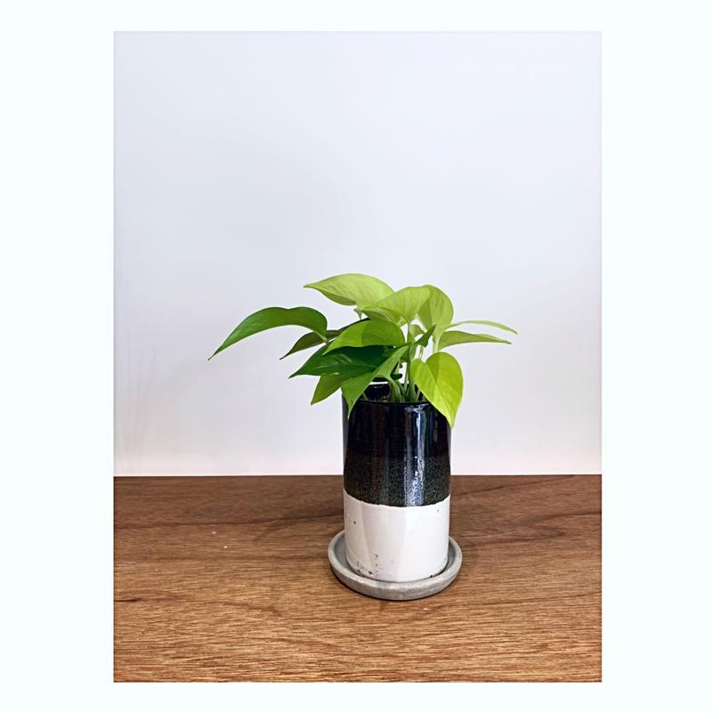 【観葉植物】《ポトス・ライム》