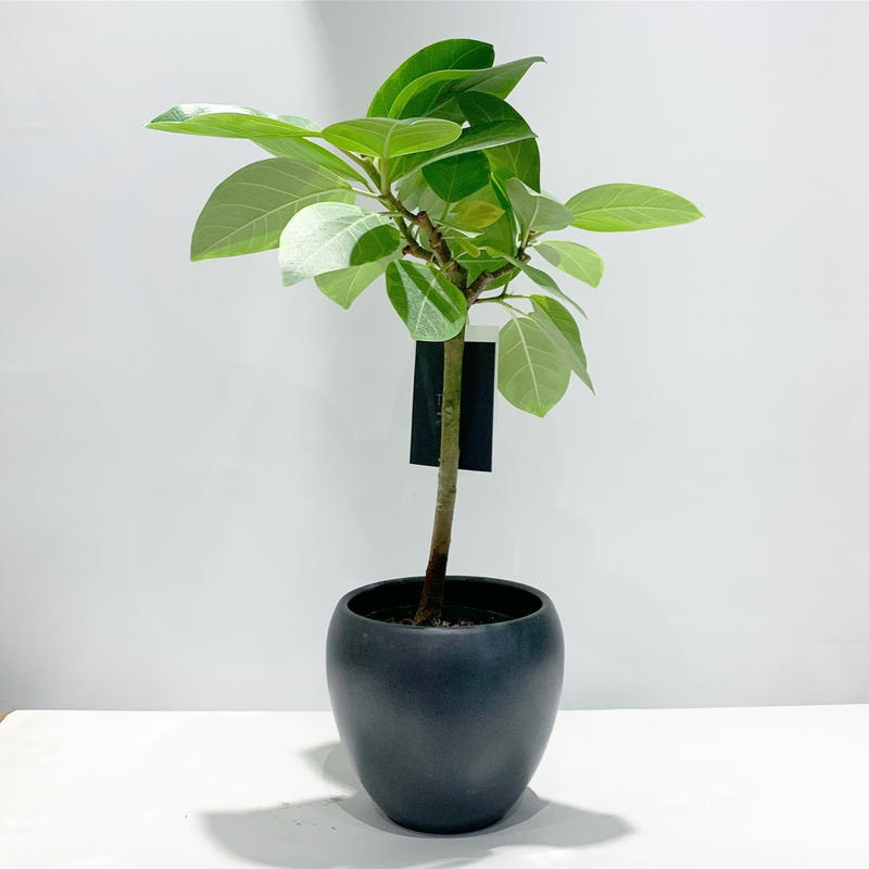 【観葉植物】フィカス・アルテシマ(ゴムの木)
