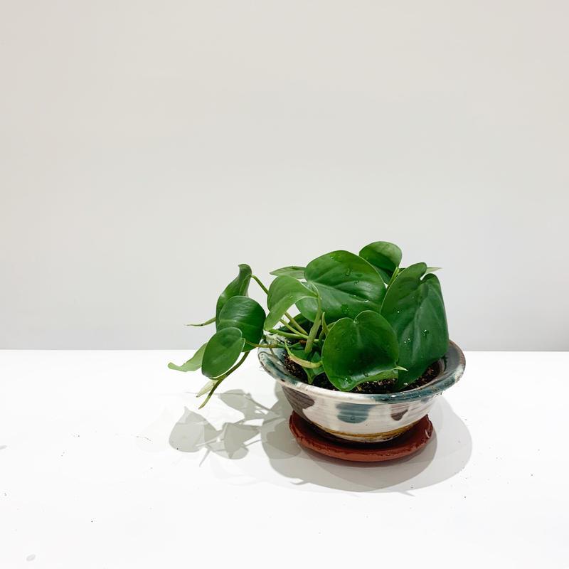 【観葉植物】オキシカルジューム 浅鉢
