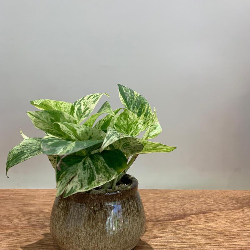 【観葉植物】  《  斑入りポトス 》