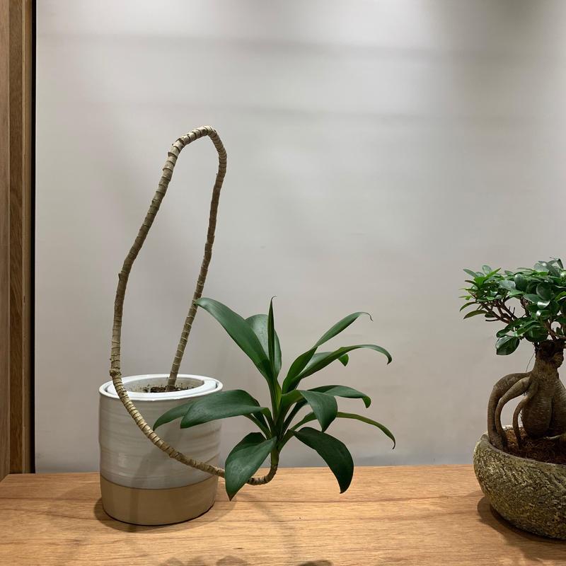 【観葉植物】 ドラセナ・グローカル