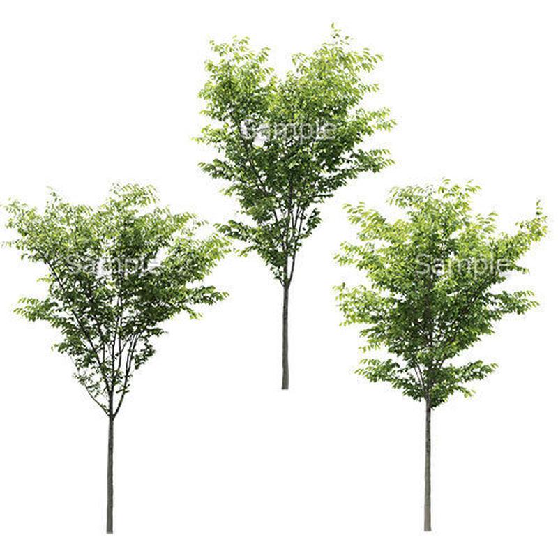 3本樹木(アイレベル) ケヤキ 23_019