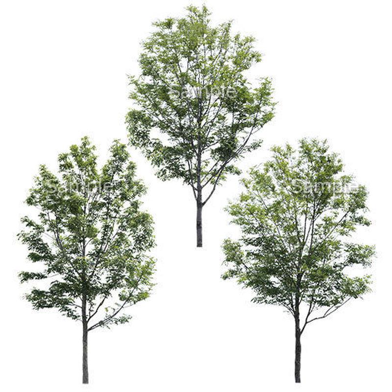 3本樹木(アイレベル) シマトネリコ 23_010