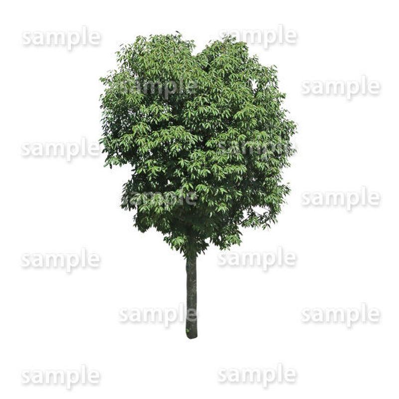 鳥瞰樹木    Bird-eye_32-シラカシ-Bamboo-LeafedOak
