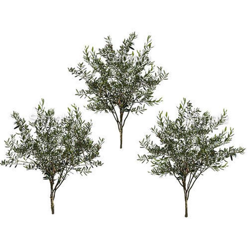3本樹木(アイレベル)  オリーブ 23_009