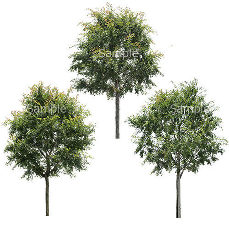 3本樹木(アイレベル) アキニレ 23_012