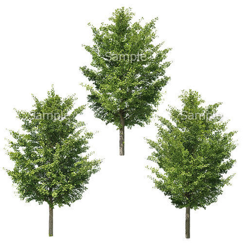 3本樹木(アイレベル) イチョウ 23_013