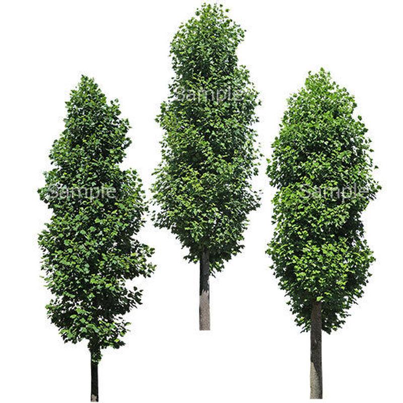 3本樹木(アイレベル)  ユリノキ 23_005