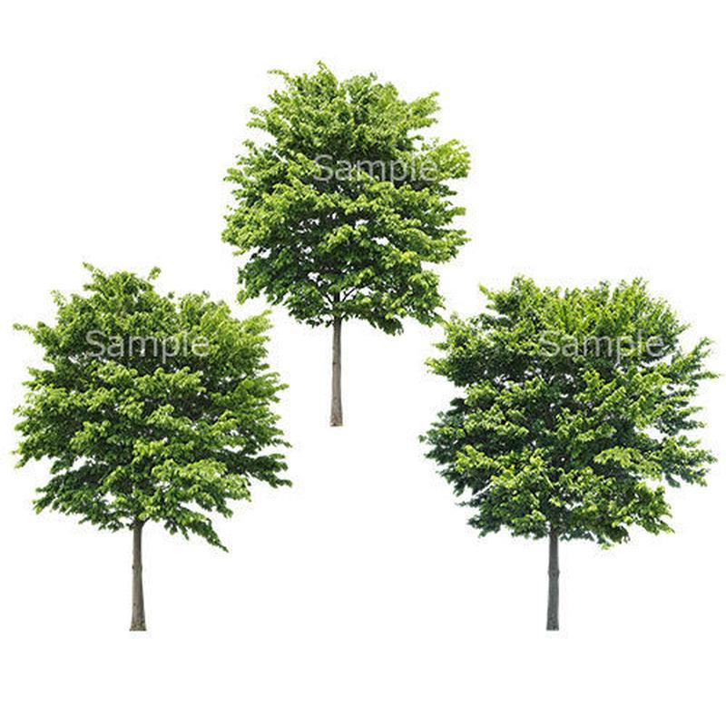 3本樹木(アイレベル) イヌシデ 23_014