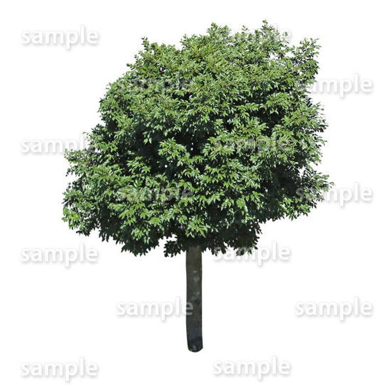 鳥瞰樹木    Bird-eye_33-シラカシ-Bamboo-LeafedOak