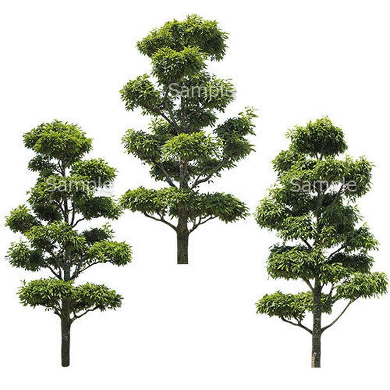 3本樹木(アイレベル)  シラカシ 23_004