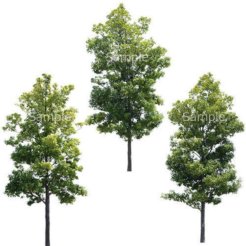 3本樹木(アイレベル) シラカシ 23_022