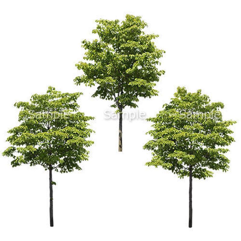 3本樹木(アイレベル) ハナミズキ 23_025