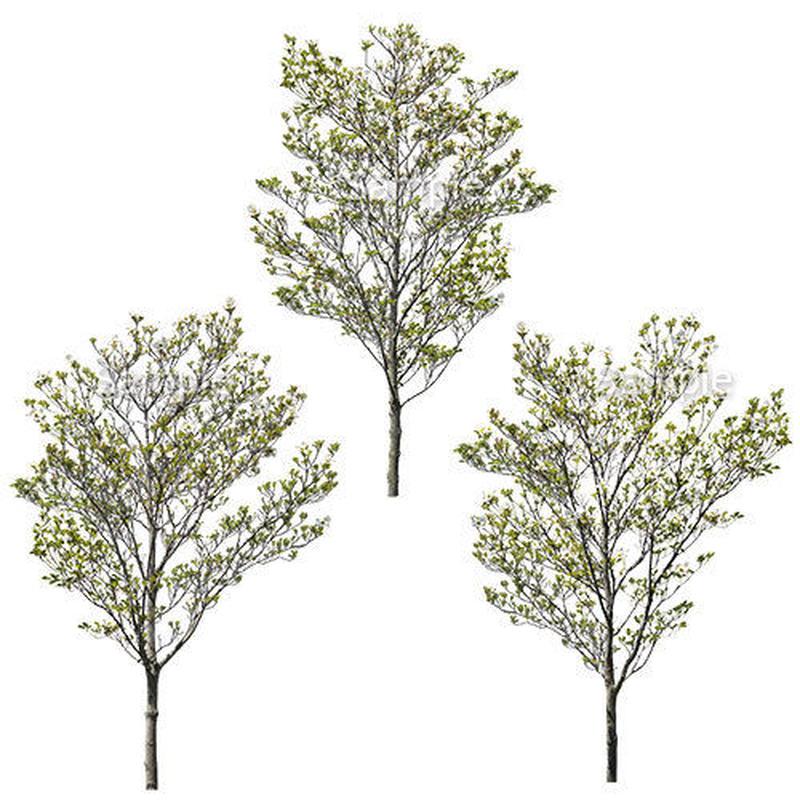 3本樹木(アイレベル) ハナミズキ 23_024